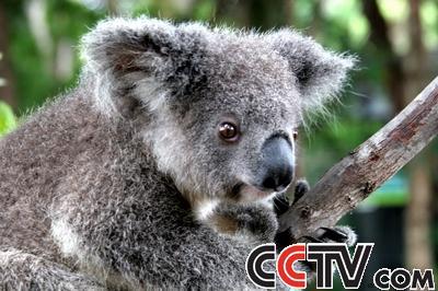 广州香江野生动物园里有三只可爱的考拉