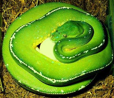 巨蛇_世界第一巨蛇