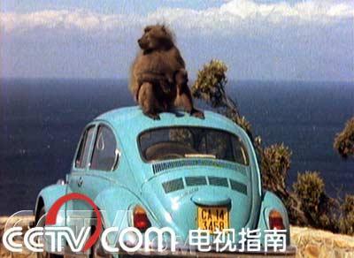 观望的狒狒