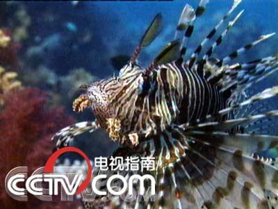 美丽的蓑鱼