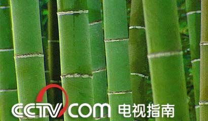 竹子生长周期手绘