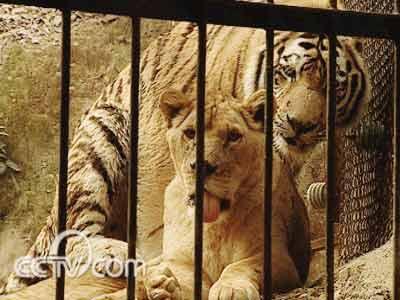 """狮子和老虎""""同住一屋"""""""
