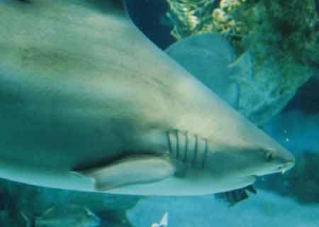资料图:鲨鱼
